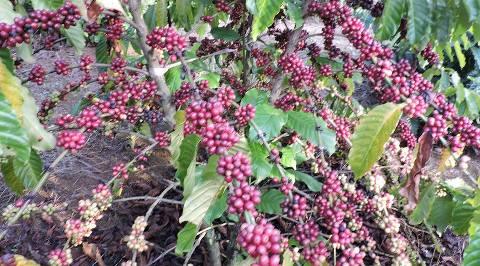 Cà phê Robusta -Nguồn gốc & Đặc điểm sinh vật học