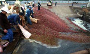 Lâm Đồng: Thực trạng chế biến cà phê – 80% nguyên liệu chế biến khô