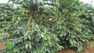 Cà phê Arabcia – Nguồn gốc & Đặc điểm sinh vật học
