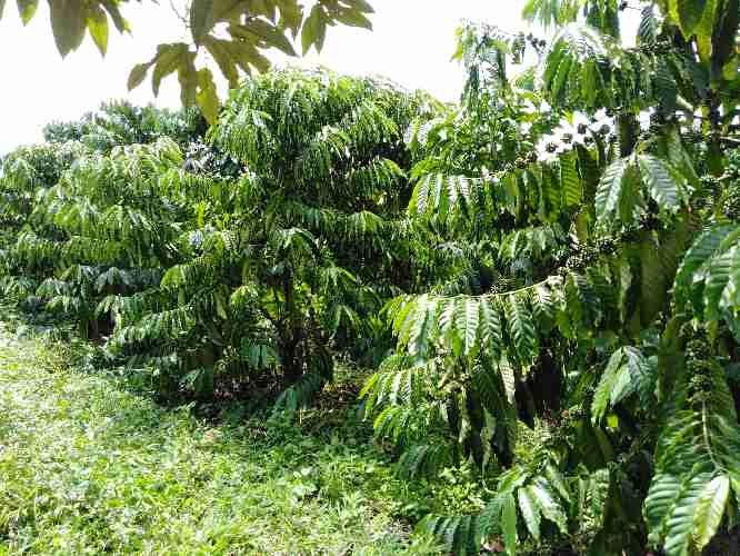HÌNH ẢNH về cà phê tại nông trại Cà Phê vào những ngày mùa mưa , cây cà phê xanh mớt với những đám cỏ phát triển nhanh