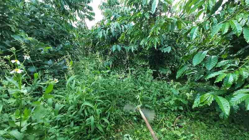 Làm cỏ bằng máy phát cỏ tại nông trại KIM ĐIỀN