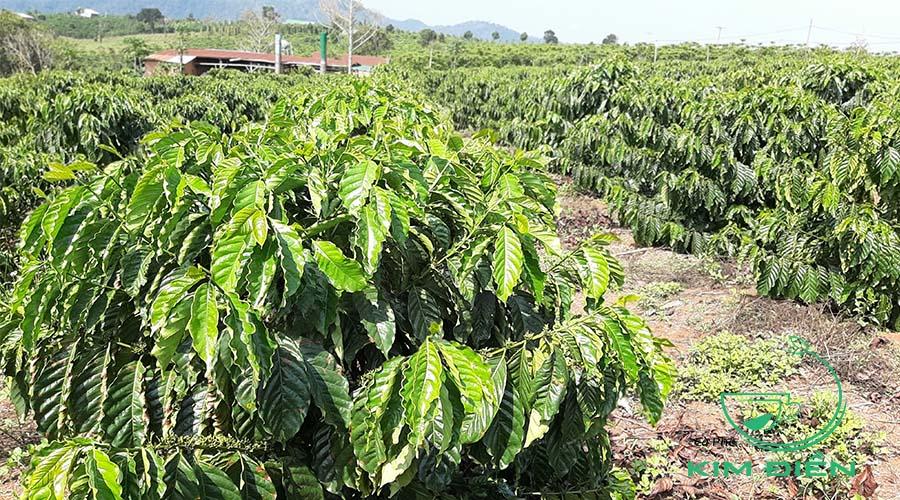Chuẩn bị Phân Hữu cơ cho Farm Cà Phê Kim Điền